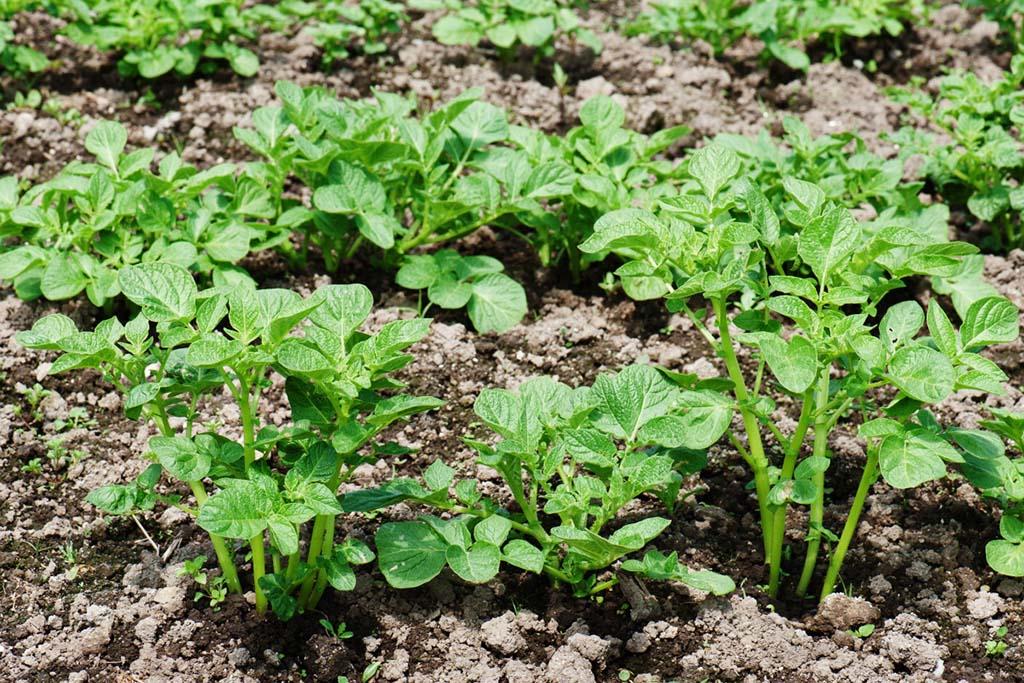 метод стеблей или же столярном методе выращивания rfhnjatgz