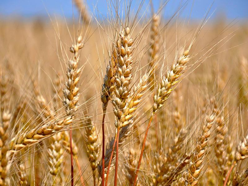 Как влияют погодные условия на урожай зерновых в 2019 году
