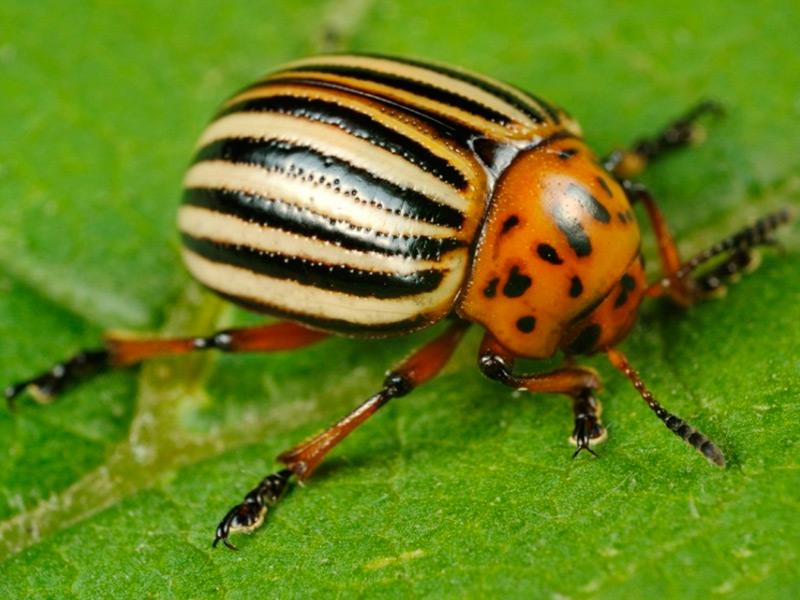 Россельхознадзор предупреждает: колорадский жук – вредитель картофеля